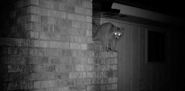 Raccoon Exterior Entry Point