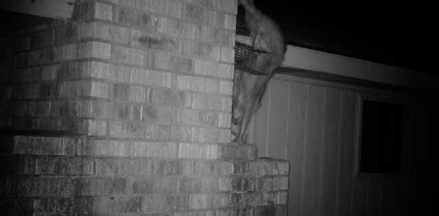 Raccoon Getting Onto Roof