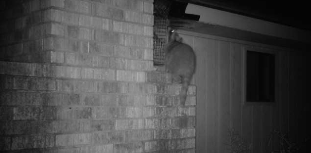 Night Vision Raccoon Getting into a Home